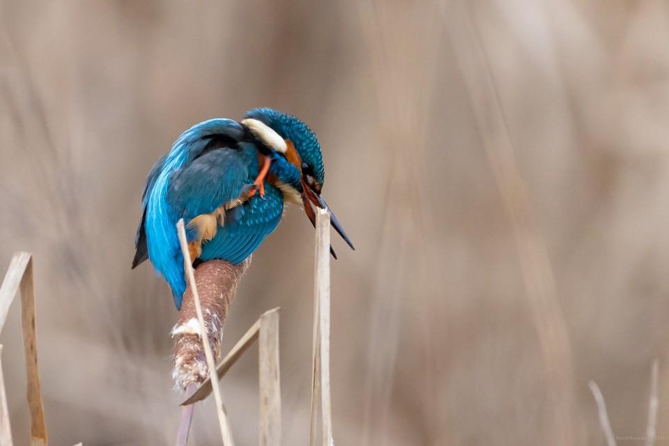 Зимородок— Alcedo atthis