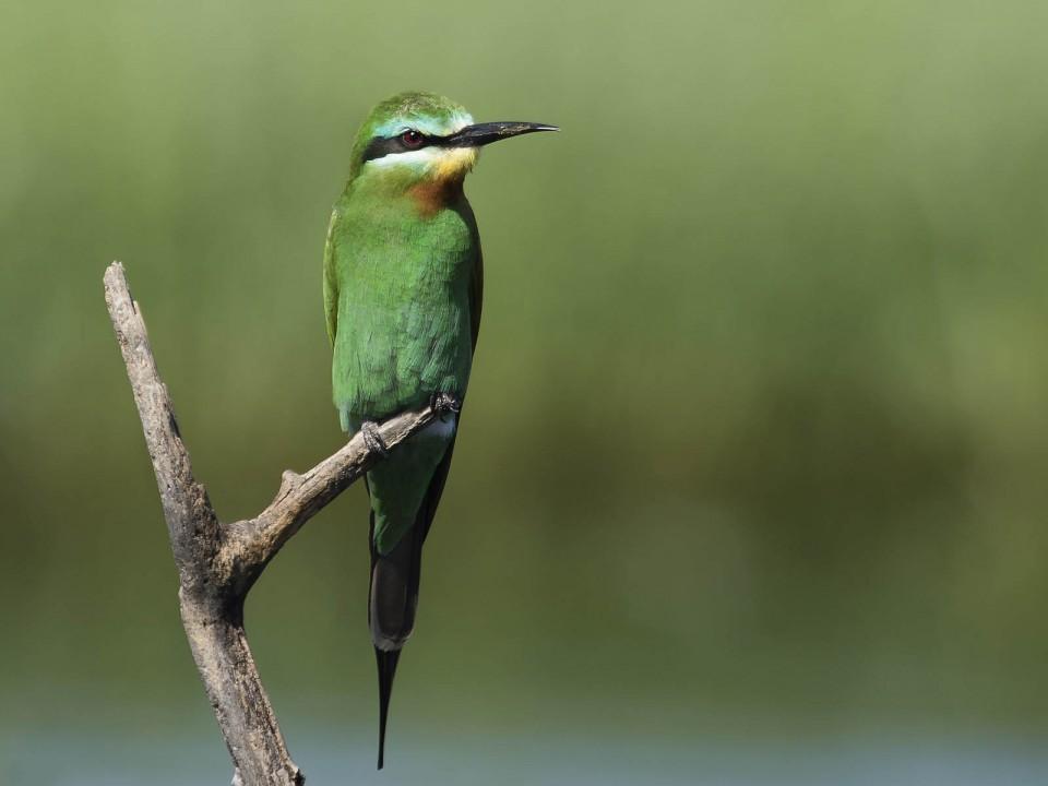 Зелёная щурка— Merops persicus