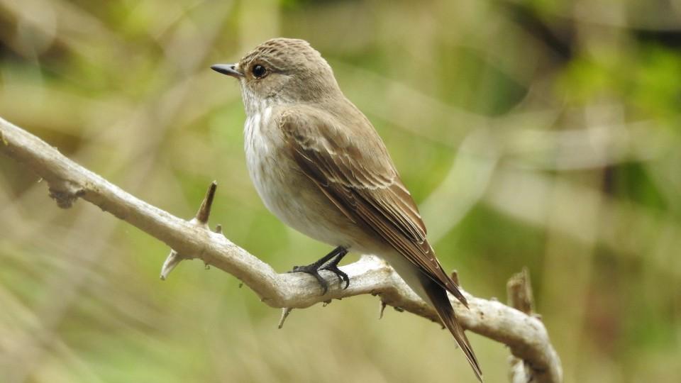 Серая мухоловка— Muscicapa striata