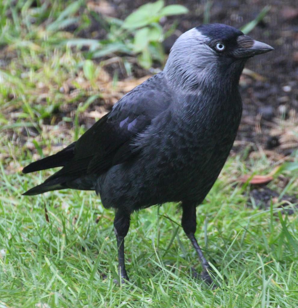 Галка— Corvus monedula