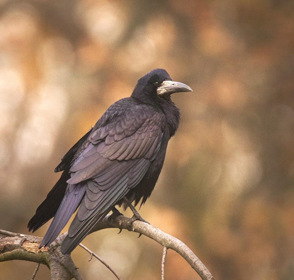 Грач— Corvus frugilegus