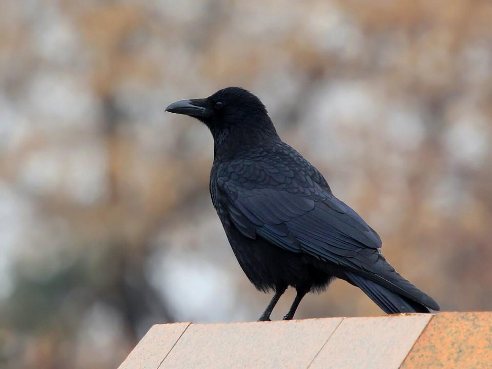 Чёрная ворона — Corvus (corone) orientalis
