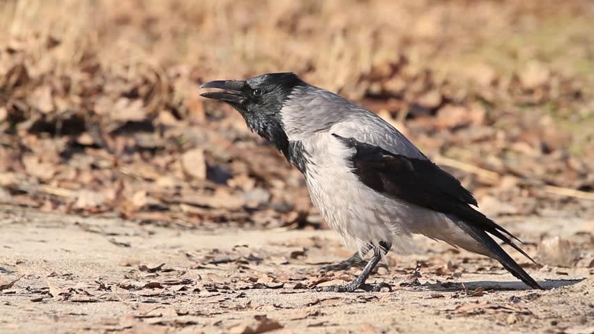 Серая ворона — Corvus (corone) cornix