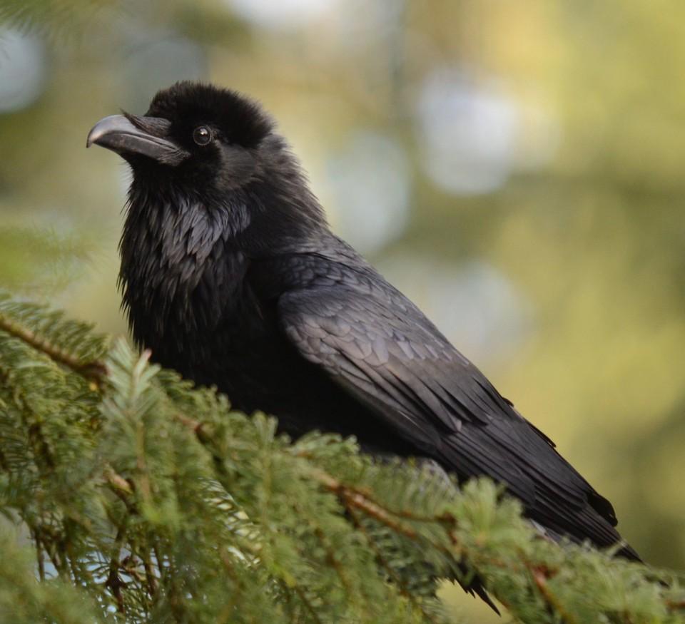 Ворон — Corvus corax