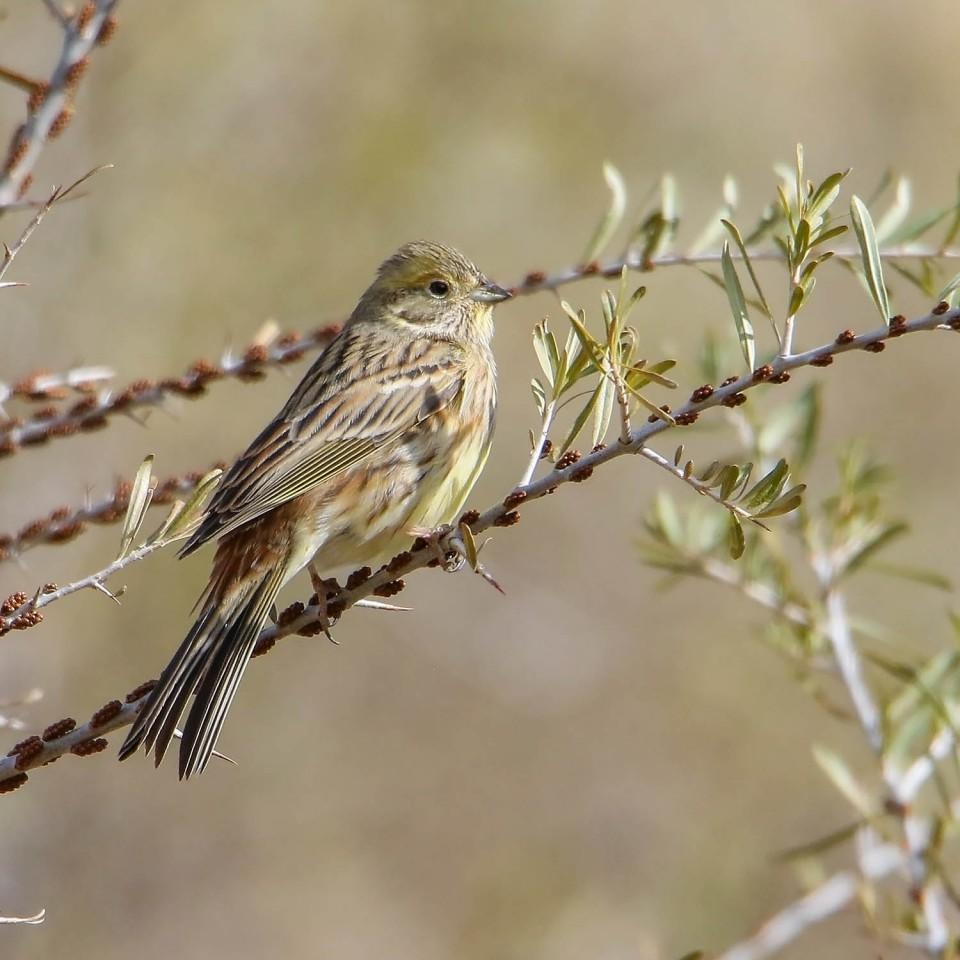 Обыкновенная овсянка— Emberiza citrinella