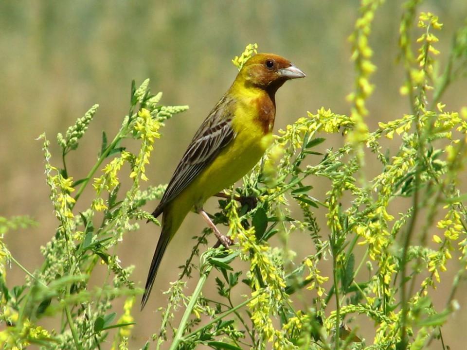 Желчная овсянка— Granativora bruniceps