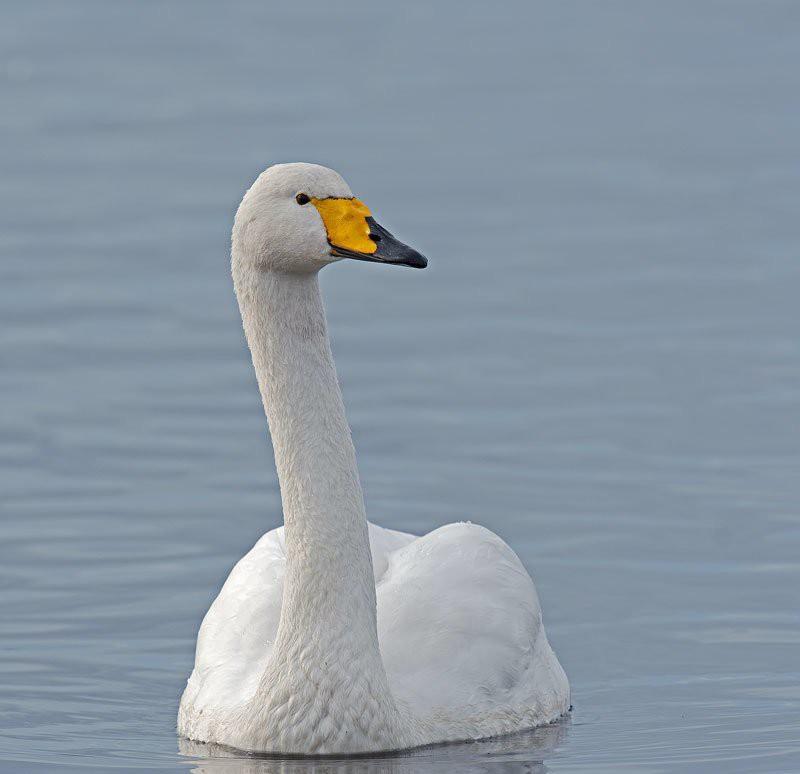 Лебедь-кликун — Cygnus cygnus