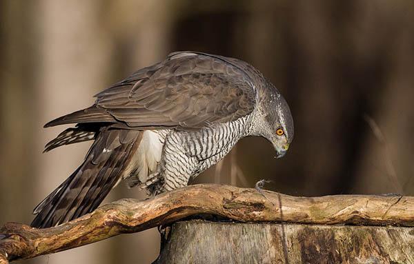 Тетеревятник, или ястреб-тетеревятник (Accipiter gentilis) — Птицы  Европейской части России