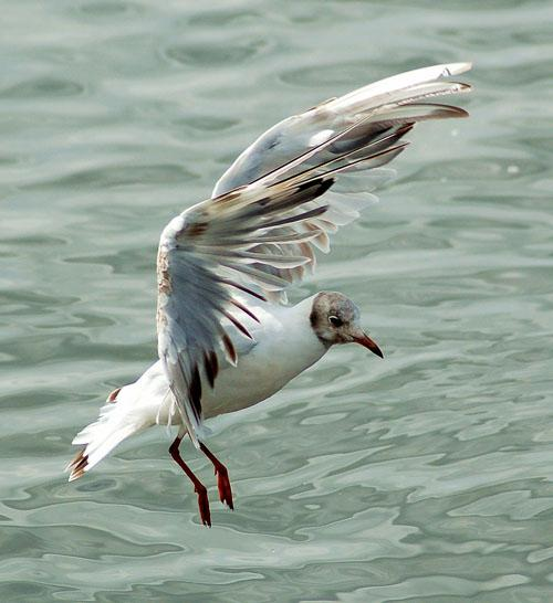 Озёрная чайка / Larus ridibundus / Black-headed gull / Птицы Европы