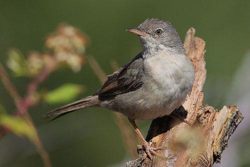 Серая славка / Sylvia communis / Whitethroat / Птицы Европы
