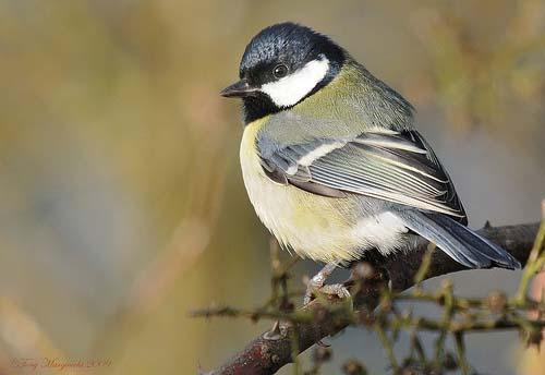 Большая синица / Parus major / Great tit / Птицы Европы