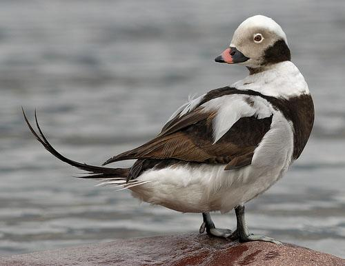 Морянка / Clangula hyemalis / Long-tailed duck / Птицы Европы